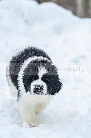 Lancier Puppy in the snow