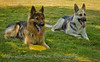 German Shepherds :