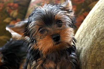 yorkshire terrier yorkie puppies