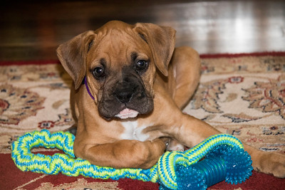 Eight week old Boxer puppy with toy