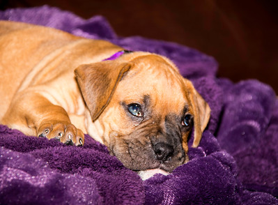 Boxer puppy laying on purple blanket looking up