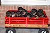 Groff-Puppies 038