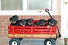 Groff-Puppies 099_copy
