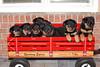 Groff-Puppies 040 E