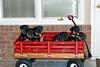 Groff-Puppies 103_E