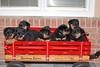 Groff-Puppies 026 E
