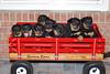 Groff-Puppies 037 E