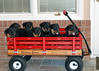 Groff-Puppies 126_E 5X7