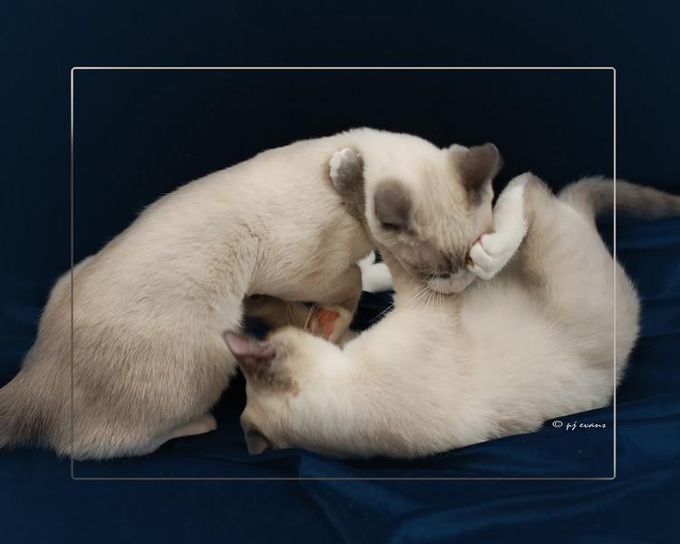 Pet Portraits 02 01 08 007 beloved cats w frame
