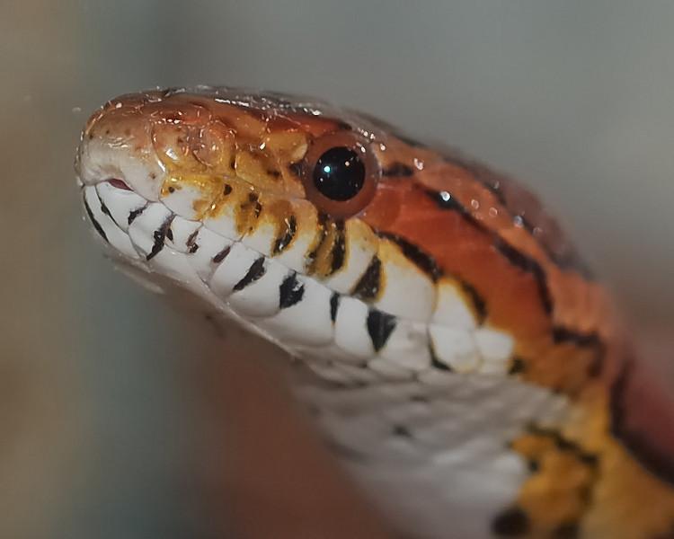 Corn Snake II 2