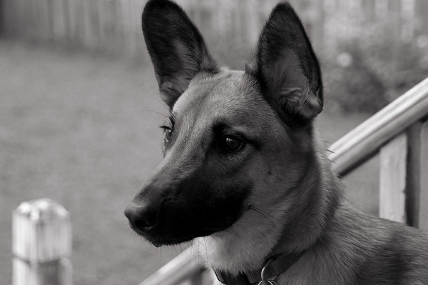 Lord Stanley (Malinois)