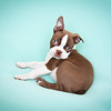 Chocolate Baby Boston Terrier-5
