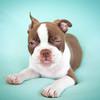 Chocolate Baby Boston Terrier-8