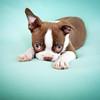 Chocolate Baby Boston Terrier-9