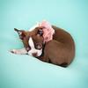 Chocolate Baby Boston Terrier-4