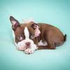 Chocolate Baby Boston Terrier-2