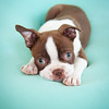 Chocolate Baby Boston Terrier-7