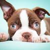 Chocolate Baby Boston Terrier-13