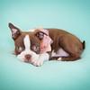 Chocolate Baby Boston Terrier-3