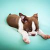 Chocolate Baby Boston Terrier-18