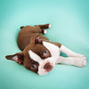Chocolate Baby Boston Terrier-19