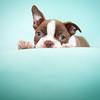 Chocolate Baby Boston Terrier-12