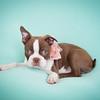 Chocolate Baby Boston Terrier