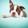 Chocolate Baby Boston Terrier-11