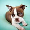 Chocolate Baby Boston Terrier-17