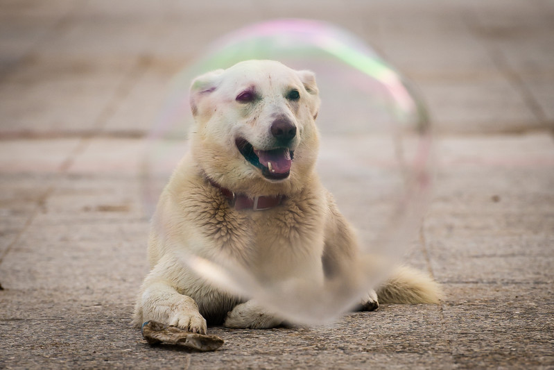 Yellow lab mix with bubbles, Sitges