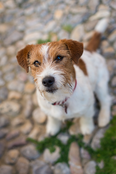Flash, Jack Russel Terrier, Sitges