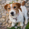 Flash, Jack Russel Terrier, Sitges
