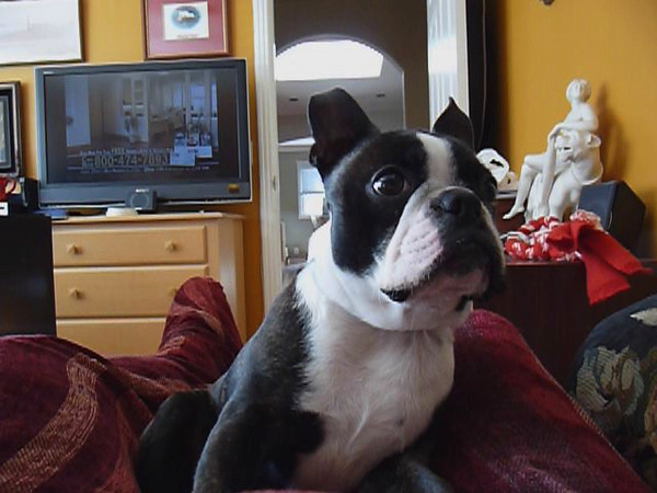 Snacking Boston Terrier