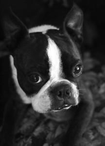 Philo the Boston Terrier