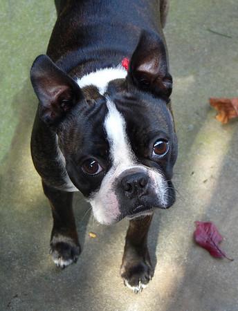 Philo, the world's cutest Boston!