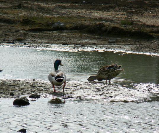 Dabbling ducks
