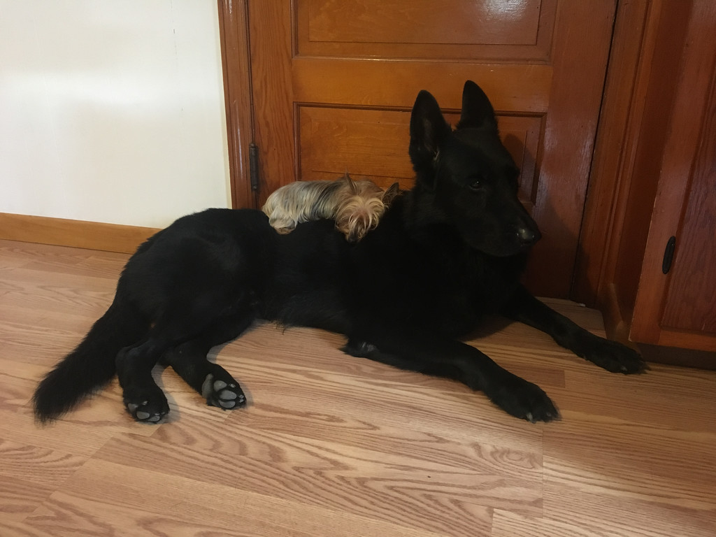 . Kato, a 5-year-old German shepherd, and Suki, 2, a silky terrier, owned by Erin and John Chappelle of Saugerties, took second place. Four pound Suki �is the queen of her 95 pound German Shepherd throne,� wrote the Chappelles in their nomination.