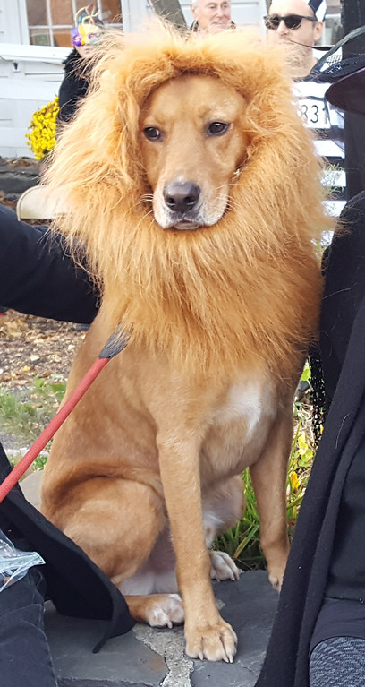 . Woody, a 5-year-old golden retriever mix rescue dog owned by Mark Jacobson of Woodstock, took first place in the Best Outfit category with the costume he wore at the 2017 Woodstock Halloween paraded.