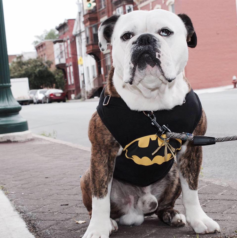 . Bentley Cornelius Sanders, aka Batman Bentley, a 4-year-old old English bulldog owned by Sirena and Jamal Sanders of Kingston and Troy, takes honorable mention.