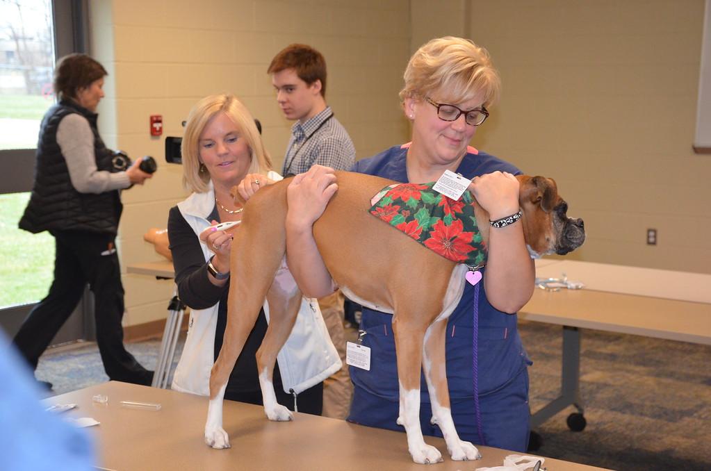 . Lori Renda-Francis, director of the Macomb Community College\'s veterinary technician program, takes Quiz\'s temperature.