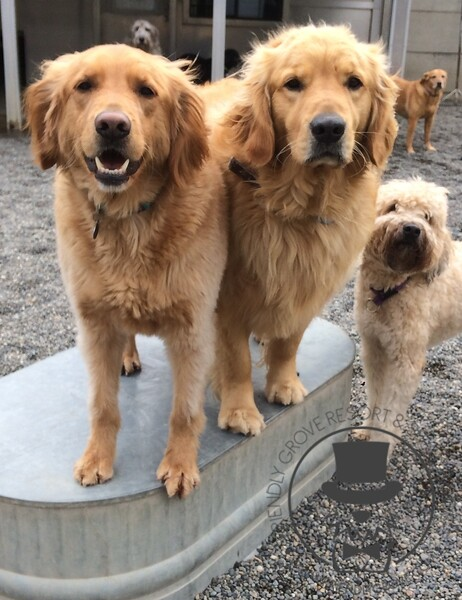 A couple fluffy goldens!