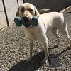 Duke loves the big blue bone in the hotel yard!