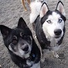 Tahtu and Coke, some pretty Huskies!