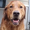 DUKE ! He loves to play in the rain !