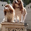 A couple handsome cavaliers (who may have dipped their ears in the water bowl :) )
