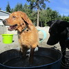 All the pups love the water buckets today !