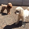 A couple poodles in the sun!