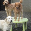 Kula, Goldie and Rusty are having a blast today!