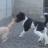 Goldie and Dingo, romping around the court yard!