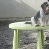 Fawn likes to use the table to be as big as the other dogs =)